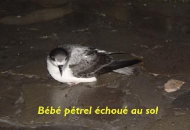 Stop aux éclairages qui tuent les pétrels de Barau à La Réunion
