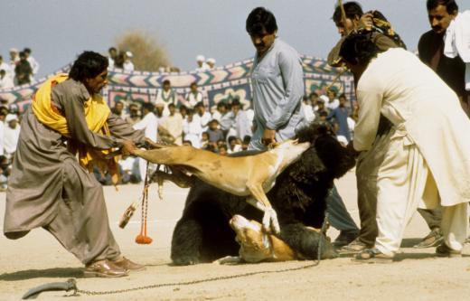 Stoppons les combats d'ours au Pakistan