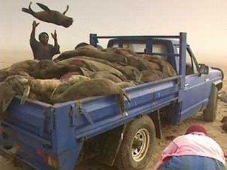 Pétition contre la chasse aux otaries en Namibie