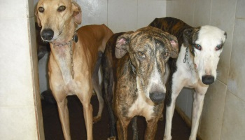 Pétition : STOP au Massacre des Galgos