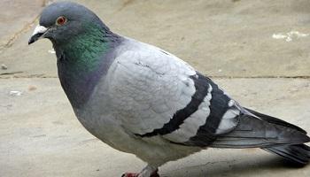 Pétition : Stop au massacre des pigeons à SAINT QUENTIN (Aisne)