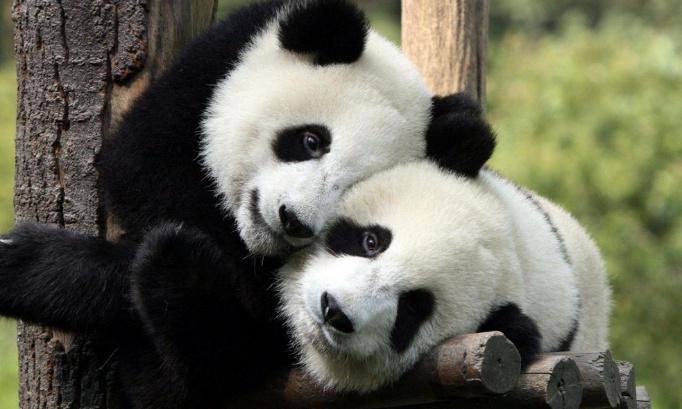 Pétition pour défendre les pandas