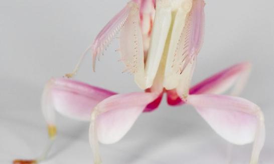 Pétition : Mante orchidée