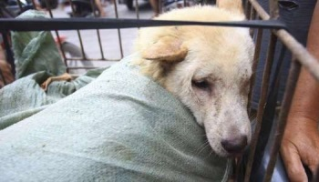 Petition : Stop the Dog-meat festival in Yulin !