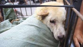 Contre le massacre des chiens Yulin
