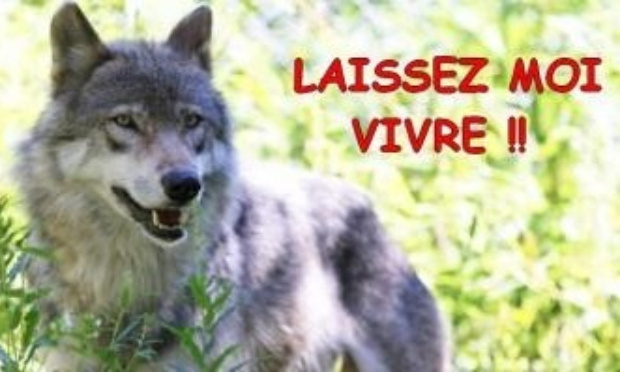 Pétition : Oui au retour du loup en Haute Saône, non à son abattage !