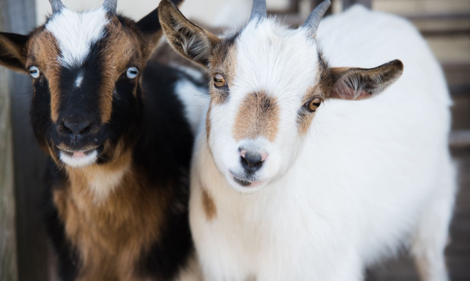Les chèvres doivent vivre !