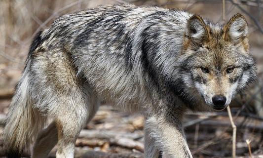 """NON aux animaux sauvages (loups et ours) prisonniers des spectacles du Moyen Age"""""""