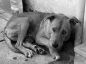 Pétition : Massacre de chiens en Roumanie