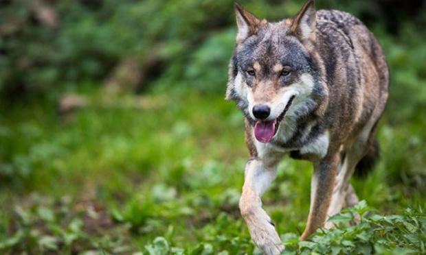 Contre les tirs de défense autorisés contre les loups dans les Vosges
