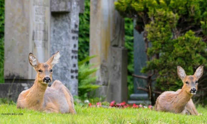 "Non aux tirs de chevreuils au cimetière de Bâle, le ""Hörnli""/ Nein zur erschiessung der rehe auf dem friedhof am ""Hörnli""/ No to the shooting of the deer of the basle cemetery ""Hoernli"""