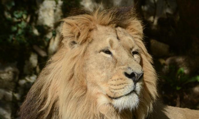 Sauvons Helios, le dernier lion de la Citadelle !