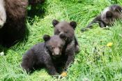 Pétition : Protégeons les ours, luttons contre le braconnage.