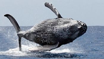 Pétition : Non à la chasse aux baleines !