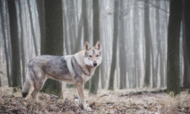 Pour la réintroduction du loup (Canis lupus) dans le bois de La Cambre et la forêt de Soignes.