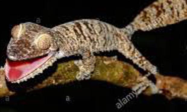 Sauvons le gecko à queue feuillue