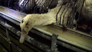 Stop aux élevages de la honte qui fournissent le foie gras de palaces parisiens