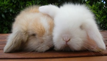 Des lapins torturés, dépecés et épilés vivants pour fabriquer de la laine angora !