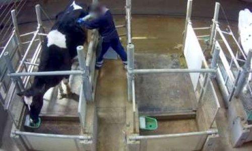La vache à hublot, une abomination créée par l'homme