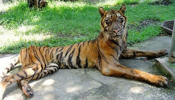 Pétition : Nouveau scandale à Surabaya au zoo de la honte !