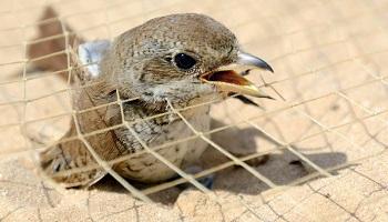 Protection des oiseaux en Egypte