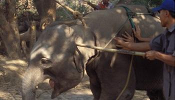 Non à la cérémonie du Phajaan, la torture des éléphants en Thaïlande