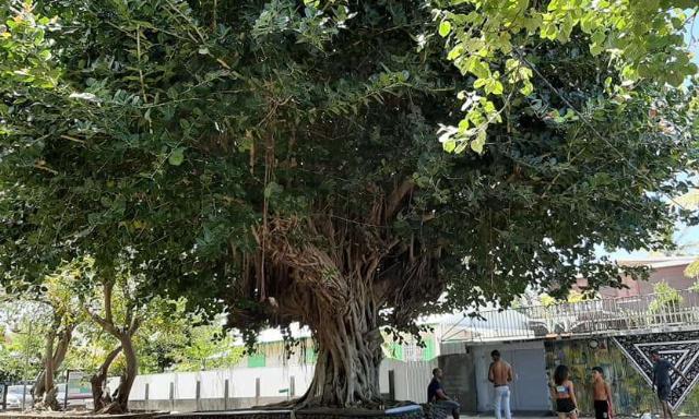 TOUCH PA NOUT PIE D'BWA : non à l'abattage des arbres à l'Etang-Salé-les-Bains