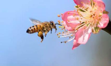 Les plantes mellifères dans les villes pour sauver les abeilles !