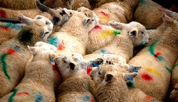 Petition : Victory : No to the exportation of French lambs to Lebanon
