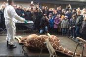 Pétition : Scandale au zoo de Copenhague : exécution d'un girafon