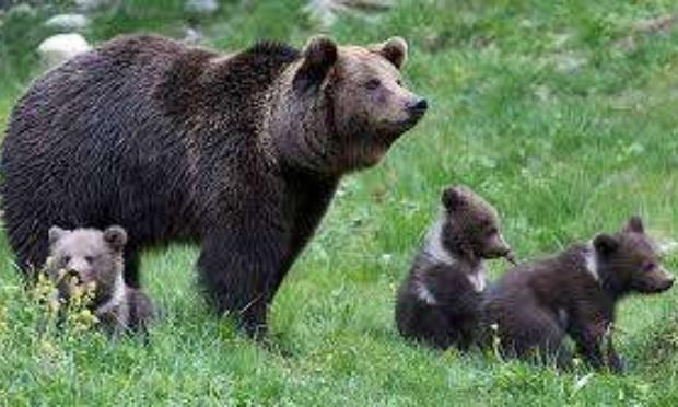 Reintroduction des ours a Besançon