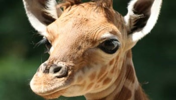 Petition : Victory : Save the second baby giraffe threatened wit...