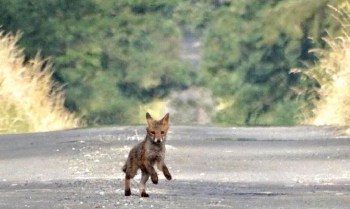 Non aux tirs et piégeage des renards en forêt de Mormal