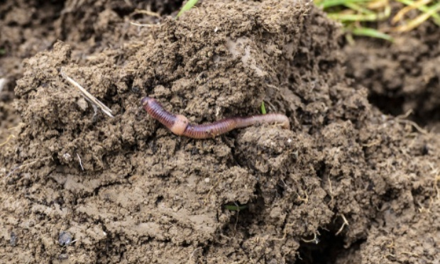 Les intestins de la terre en voie de disparition ?