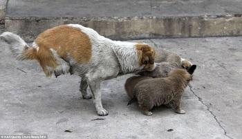 Sauvons Shi Bao, chienne courageuse à deux pattes et ses chiots