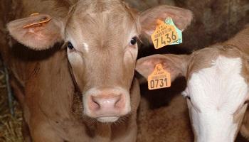 200 veaux pour 240 habitants, stop à la démesure ! Petition-img-11656