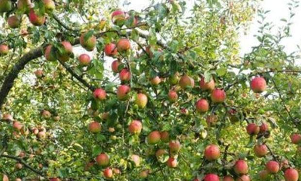 Reboiser le monde d'arbres fruitiers