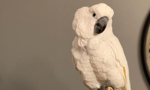 Droits des perroquets