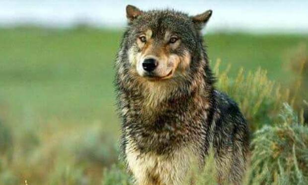 Pétition : Non aux tirs des loups en Deux-Sèvres !