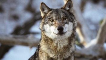 Pétition : Sauvez le loup du Fenouillet du Razes dans l'Aude !