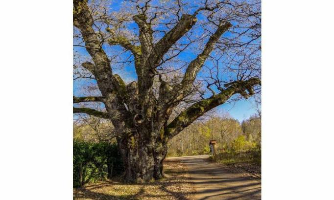 Sauvons le chêne de Fillière vieux de 600 ans