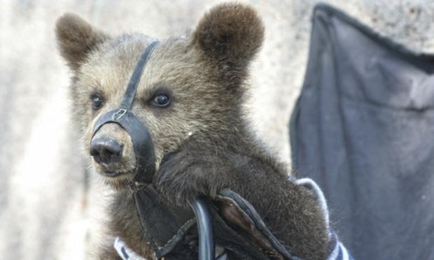 Interdire les animaux sauvages dans les cirques