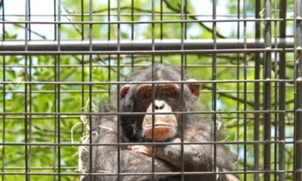 Stop aux transports de singes pour les laboratoires !