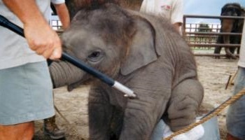Pétition : Center Parcs trompe ses clients : un éléphant est contraint d'animer au parc de Verneuil-sur-Avre !