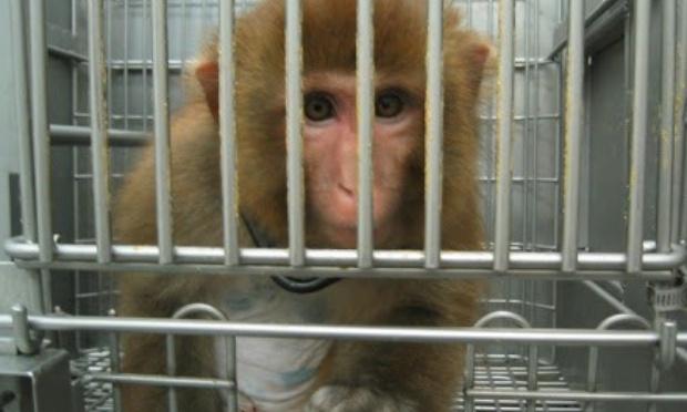 Non aux transports aériens de macaques pour les laboratoires