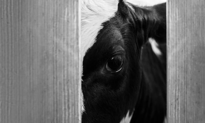 Lutte pour le bien-être animal : NON aux abattoirs