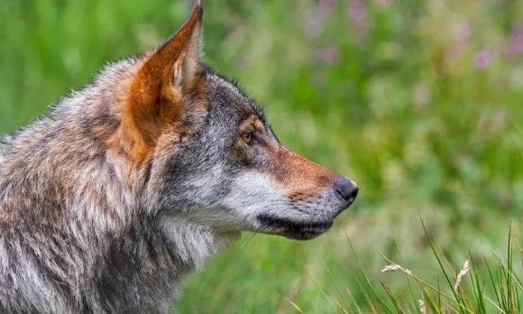 Pétition : NON à l'abattage du loup ordonné par la préfecture de Charente-Maritime le 04/12/2020 : espèce protégée par la convention de Berne depuis 1979