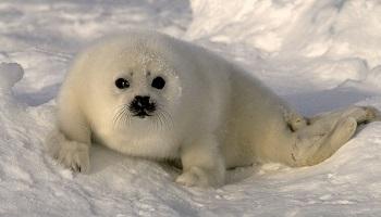 Pétition : Stop au sempiternel massacre des phoques au Canada !