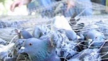 Non au massacre de 400 pigeons à Montpellier