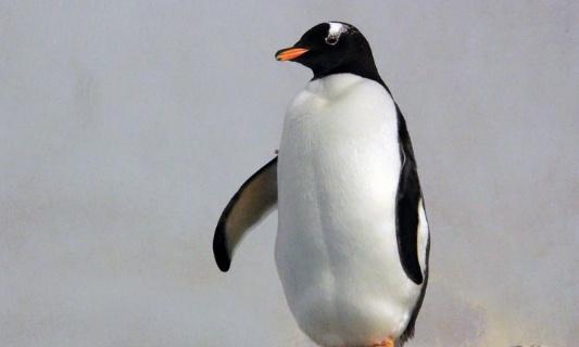 Lutte contre la disparition des pingouheins en Afrique du Sud